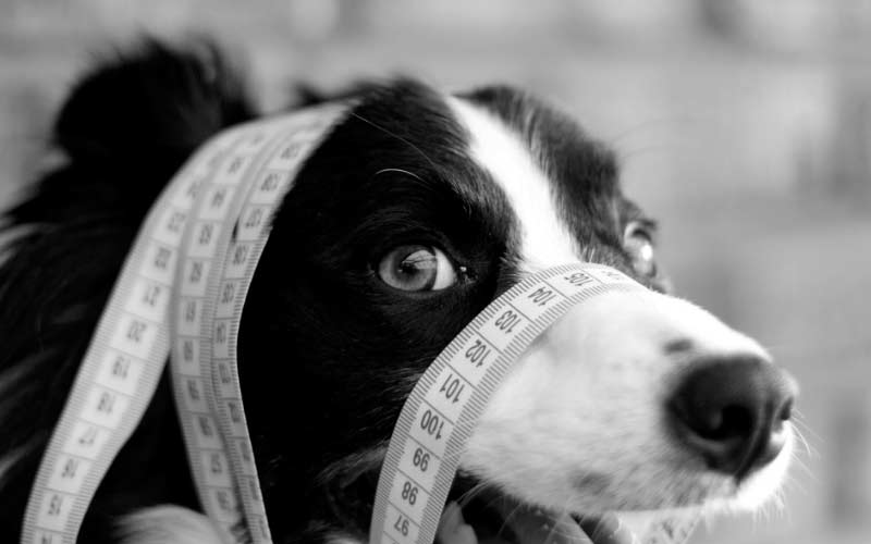 Cute dog with a measuring tape on its nose in black and white