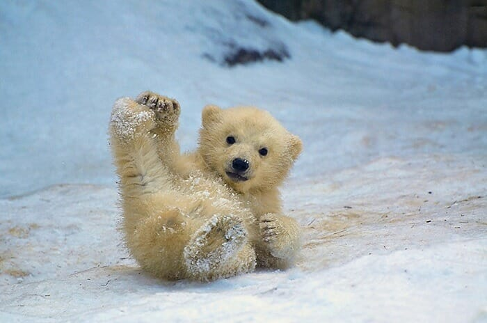 Baby polar bear enjoying in the snow