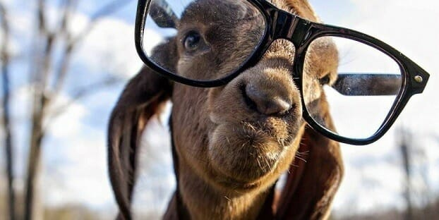 Goat wearing glasses