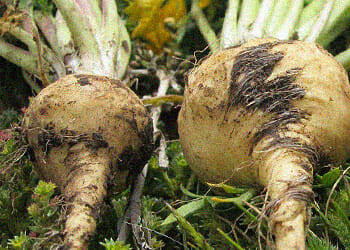 close up image of a freshly cropped maca root