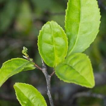 close up image of a green tea leaf
