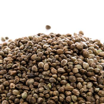Hemp seeds on white background